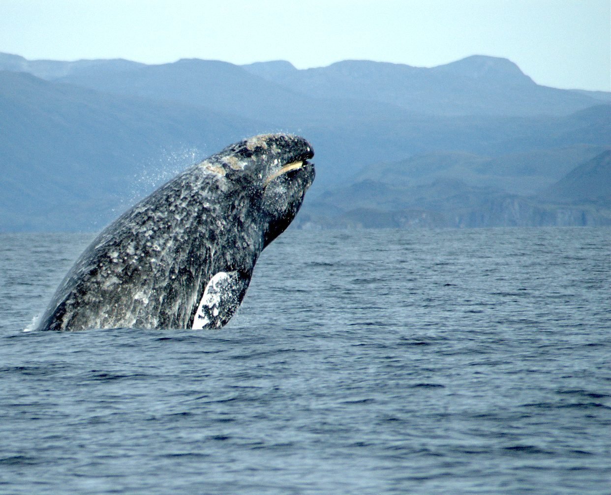Why We're Seeing More Beached Gray Whales