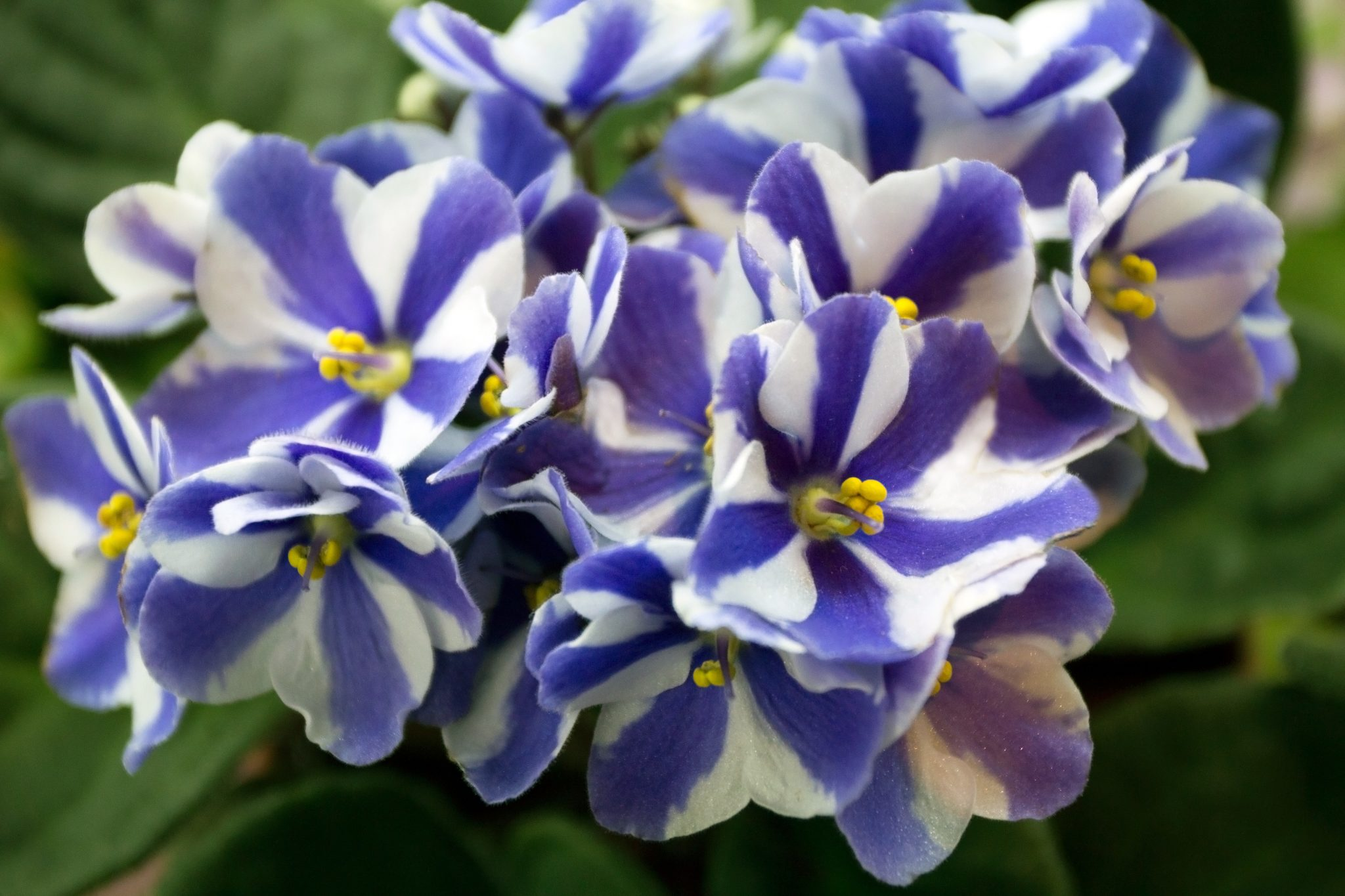 African Violets: A Horticulturist's Mutant Paradise